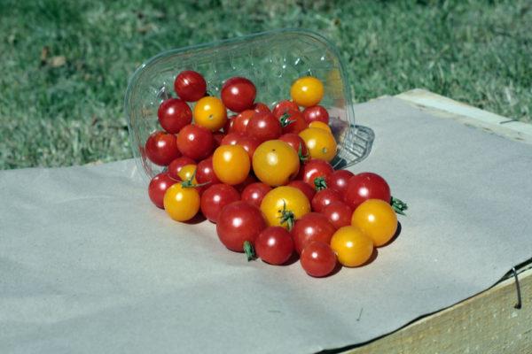 tomates-cerise-bio